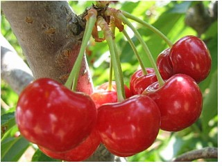 tart cherries on a tree